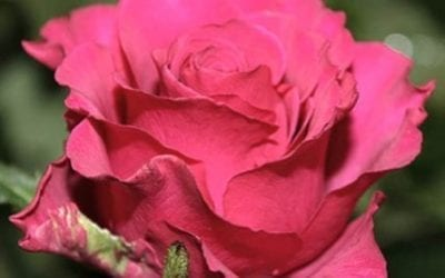 St Valentine's Day Flowers